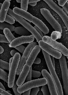 e_coli bacteria image